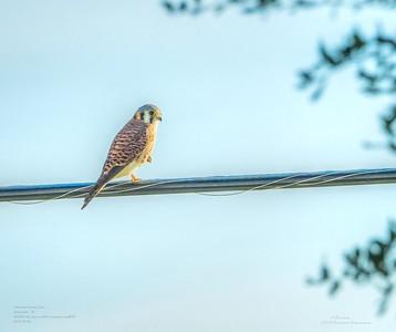 _B050014_ American kestrel falcon_ detailednr0