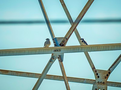 2019-06-06_m1 300 ap iso500 meterspot  kestrel and blue jay __6060132_photographic