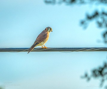 _B050005_ American kestrel falcon_ detailednr0