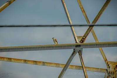 2019-09-08_1341hrs m1300mm American Kestrel Falcon__9080051