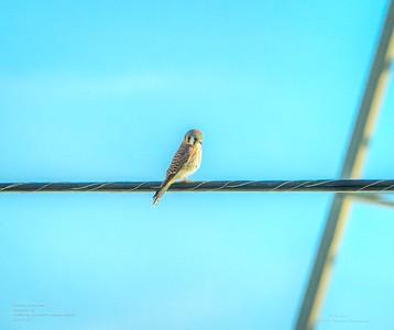 _B050003_ American kestrel falcon_ detailednr0