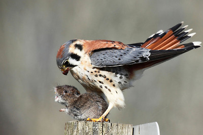 An American Kestrel with dinner seen at Ridgefield National Wildlife Refuge in Washington.  Print size 5 x 7 $14.00 USD 8 x 10 $20.00 USD 8 x 12 $20.00 USD 11 x 14 $28.00 USD 12 x 18 $35.00 USD 16 x 20 $50.00 USD