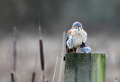 An American Kestrel with its prey in hand. Seen at Ridgefield National Wildlife Refuge in Washginton State.  Print size 5 x 7 $14.00 USD 8 x 10 $20.00 USD 8 x 12 $20.00 USD 11 x 14 $28.00 USD 12 x 18 $35.00 USD 16 x 20 $50.00 USD