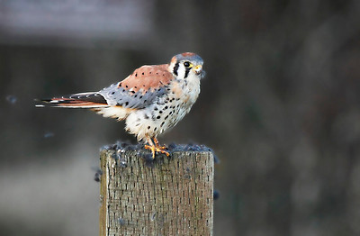 An American Kestrel sending fur flying after devouring a vole at RNWR  Print size 5 x 7 $14.00 USD 8 x 10 $20.00 USD 8 x 12 $20.00 USD 11 x 14 $28.00 USD 12 x 18 $35.00 USD 16 x 20 $50.00 USD
