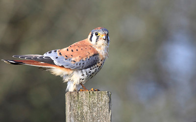 An American Kestrel with prey at Ridgefield National Wildlife Refuge  Print size 5 x 7 $14.00 USD 8 x 10 $20.00 USD 8 x 12 $20.00 USD 11 x 14 $28.00 USD 12 x 18 $35.00 USD 16 x 20 $50.00 USD
