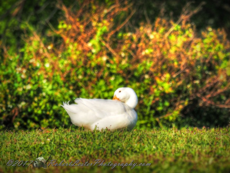 2017-03-24_P3240125_ American Pekin duck,Crescent Lake_2