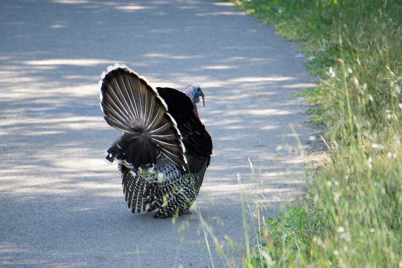 558 American Turkey