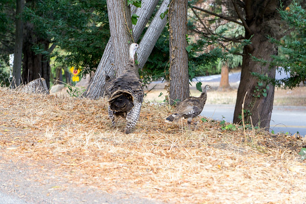 Wild Turkeys on Harbord, Aug 2016