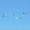 Mar 10,2013_IMG_1396   American White Pelican_Honeymoon Isl