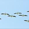Mar 10,2013_IMG_1384   American White Pelican_Honeymoon Isl