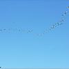 Mar 10,2013_IMG_1395   American White Pelican_Honeymoon Isl