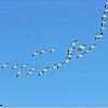 Mar 10,2013_IMG_1392   American White Pelican_Honeymoon Isl
