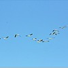 Mar 10,2013_IMG_1396_American White Pelican_Honeymoon Isl_JPG