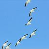 Mar 10,2013_IMG_1390   American White Pelican_Honeymoon Isl