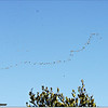 Mar 10,2013_IMG_1399   American White Pelican_Honeymoon Isl
