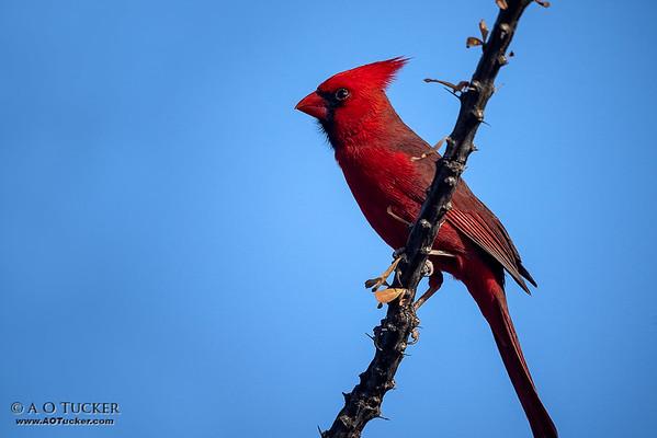 Cardinal Pose