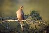 Golden Hour Dove