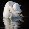 Tears Of A Swan