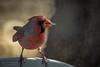 Cardinal And Seed