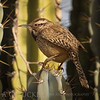 Cactus Wren Thorn Dancer