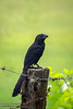Groove-billed Ani Fence Post Portrait