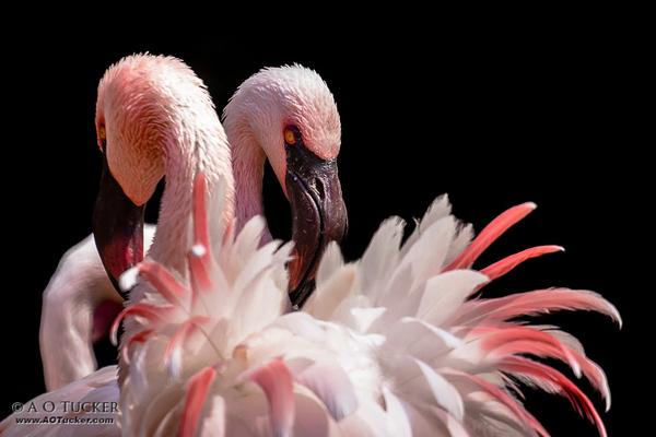 Flamingo Tango