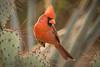 Cactus Cardinal