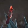 Cardinal Crest Aglow