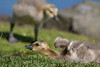 First goslings of this year