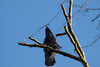 Banded American Crow