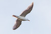 Glaucous-winged Gull?