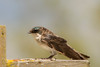 Drab female Tree Swallow