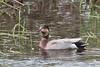 Strange duck