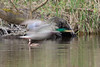 Female Ring-necked Duck and the Mallard's ghost