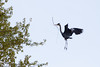 Great Blue Heron jumping on trampoline