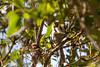 Female Bushtit with nesting material near the nest