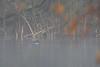 Bufflehead in fog