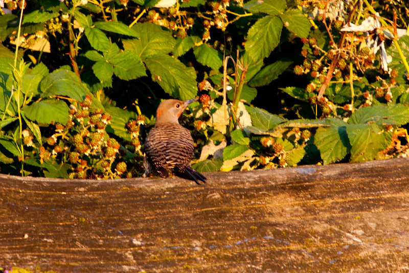 Northern Flicker (red- and yellow-shafted forms hybrid) in first light of rising sun