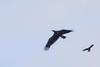 Crow mobbing immature Bald Eagle