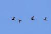 European Starlings and Bohemian Waxwings