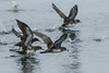 Pink-footed Shearwaters and Sooty Shearwater