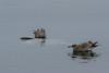 Sunfish (Mola mola) and California Gulls