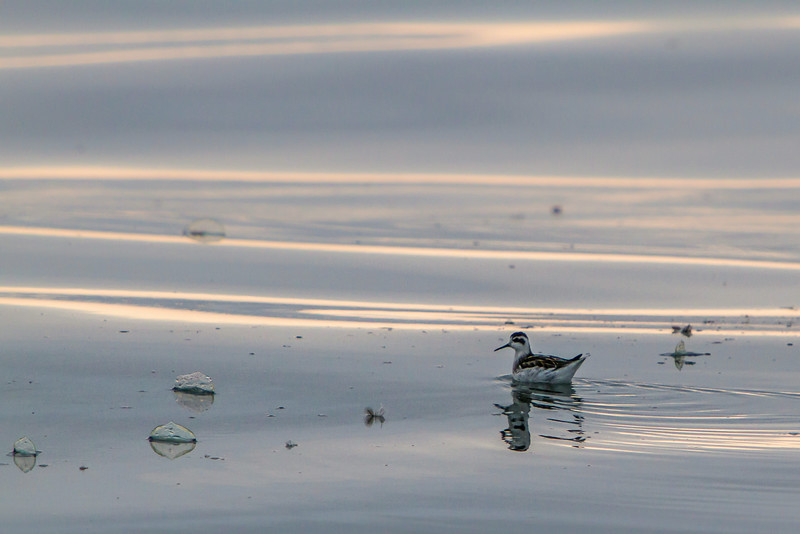 Red-necked Phalarope and Velella (By-the-Wind-Sailor)