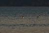 Long-tailed Ducks