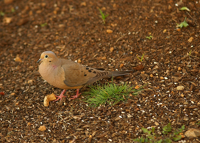 Mourning Dove close