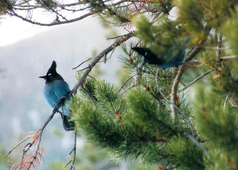 Steller Jays - Summit County Colorado