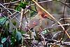 DSC_0320 Female Cardinal in Vines SSSS