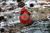 DSC_0341 Male Cardinal on ground SSS