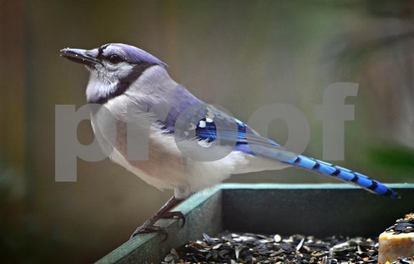 Backyard Birds March 2014