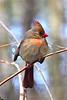 DSC_0331 Female Cardinal in Vines 4x6 SSSS